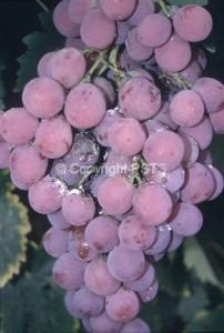 Cocciniglie farinose_Fig.2