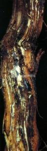 fig.1_marciume rad fibroso