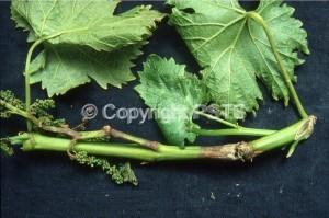 fig.3_muffa grigia