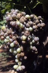 fig.5_muffa grigia