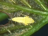 Cicalina americana Scaphoideus titanus_Fig.2