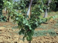 Eriofide dell'acariosi_Fig.5