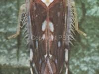 Scaphoideus titanus_Fig.1 Cicalina americana