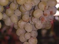 fig.2_frankliniella Tripide dei fiori
