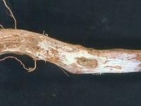 Marciume radicale parassitario lanoso_Fig.1
