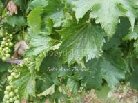Degenerazione infettiva-arricciamento su cv Chardonnay_AZ